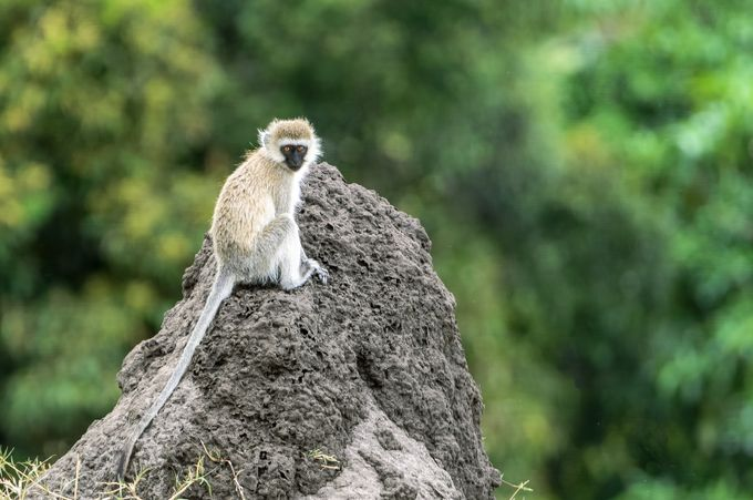 Black Faced Vervet Monkey by Pamelabole - Monkeys And Apes Photo Contest