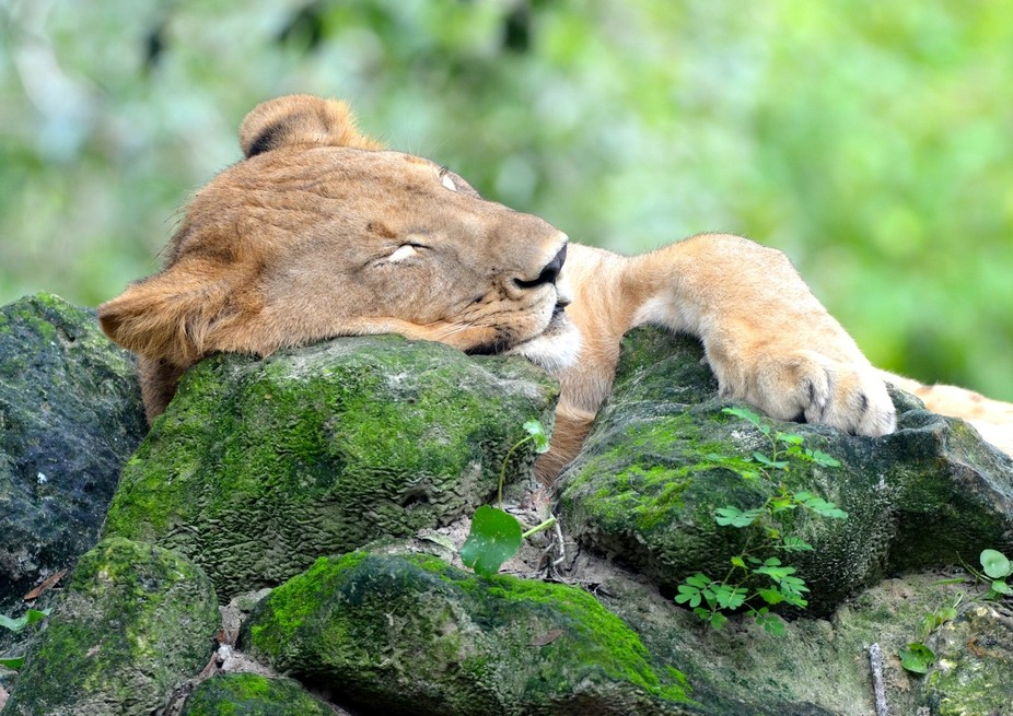 A lion sleeps and seems to have pleasant dreams on his rock at the Jacksonville Zoo & Gar...