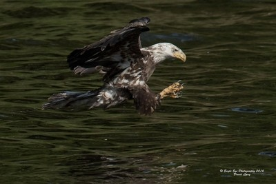 A 4th year Bald Eagle extends it's legs and opens it's gigantic talons to grab an injured fish floating on the surface - Oyster River - Warren, ME 05-26-16