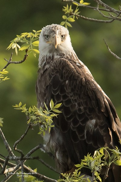 A 4th year Bald Eagle then put down in a tree about 100 ft away from us, and just watched us... for hours - Oyster River - Warren, ME 05-26-16