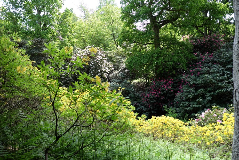 Spring azalea and rhododendrons flowering in the gardens.
