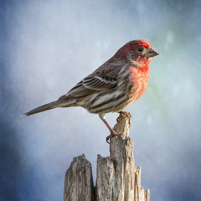 Mr House Finch Perched On Blues