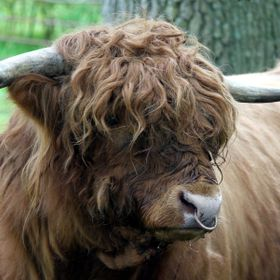 Highland bull allowed me to photograph him up close