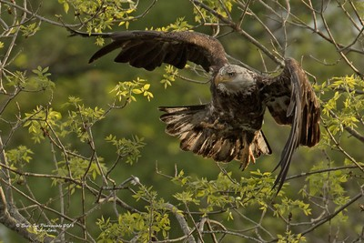 A 4th year Bald Eagle takes off from a tree about 100 ft away from us - Oyster River - Warren, ME 05-26-16