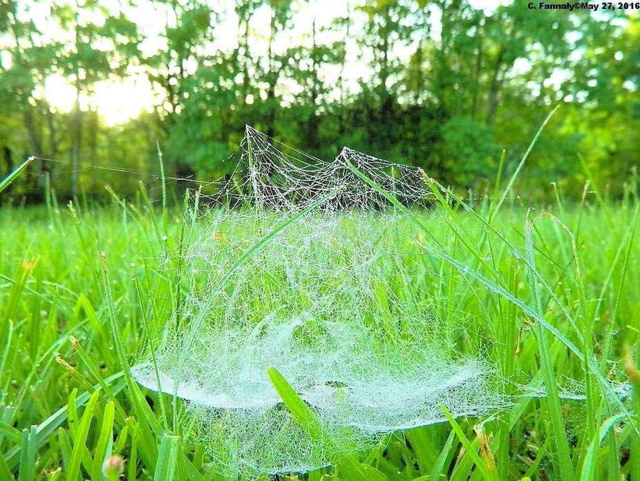 May 29 2016 SR YF ROS DL VN 007- I was greeting this morning with delicate yet magical webs in my grass.  I just love these!