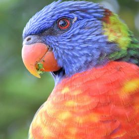 The vibrant colours of a Rainbow Lorikeet