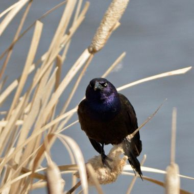 When I was out photographing, this grackle was staring at me like I had done something wrong!