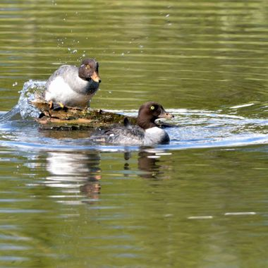 In Jasper, May long weekend.  We watched this struggle for dominance between these two female Barrows Goldeneyes.