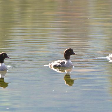 In Jasper National Park, on a pond near Jasper Park Lodge, these 3 female goldeneyes seemed to go everywhere together, and set off great reflections in the water
