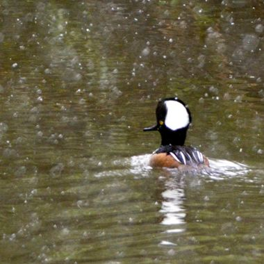 I took this picture of this hooded merganser with his crest up on Thursday, May 19, in a pond very close to my home, while it was snowing.