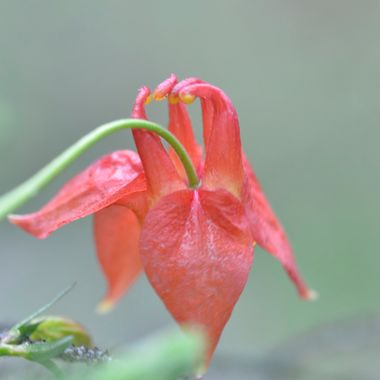 I saw this red columbine in Jasper National Park, May long weekend, after it had stopped raining.