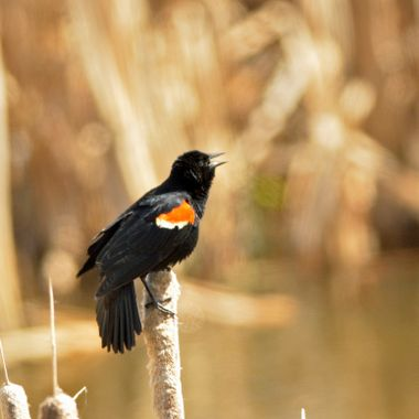 I took this picture of this Redwing Blackbird at a pond near my house the beginning of May