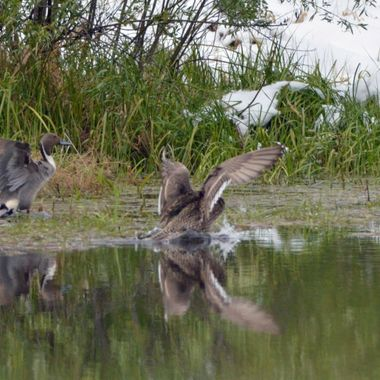 This is a pair of pintail ducks taking off from a pond close to where I live, just after the snow before May long weekend