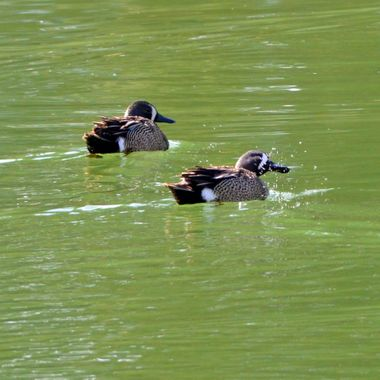 The front blue winged teal had just surfaced, and I caught him in the midst of shaking off the water