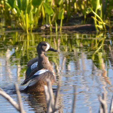In a pond near my home, I managed to catch this male blue winged teal showing off his blue wing patches, just before he took off