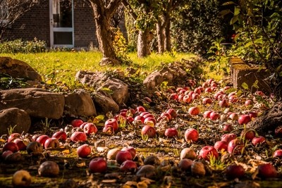 Rotting Apples - 2 (1 of 1)