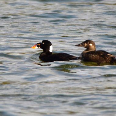 These are male and female surf scoters, that I saw in Jasper National Park May long weekend.  These are a coastal bird, and were only in the park for one day.