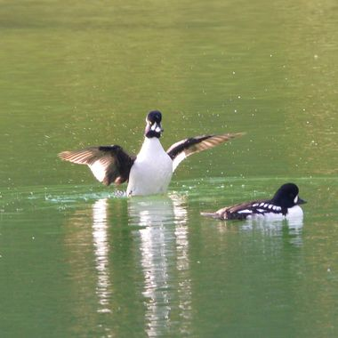 This male goldeneye had just come up out of the water to do his display in front of another male goldeneye
