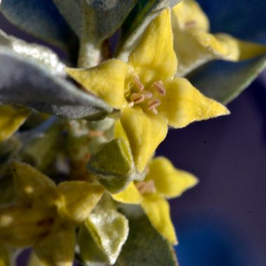 Wolf willow is identified by the small yellow star shaped flowers, and silvery leaves and stems