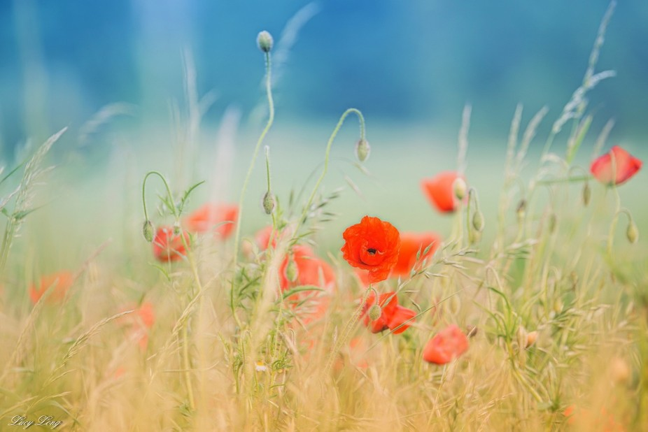 Local Poppies, post processing using PS, NIK Filters and Topaz Glow. Photo taken 25th May 2016, L...