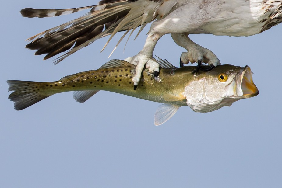 Sea Bass caught by Osprey