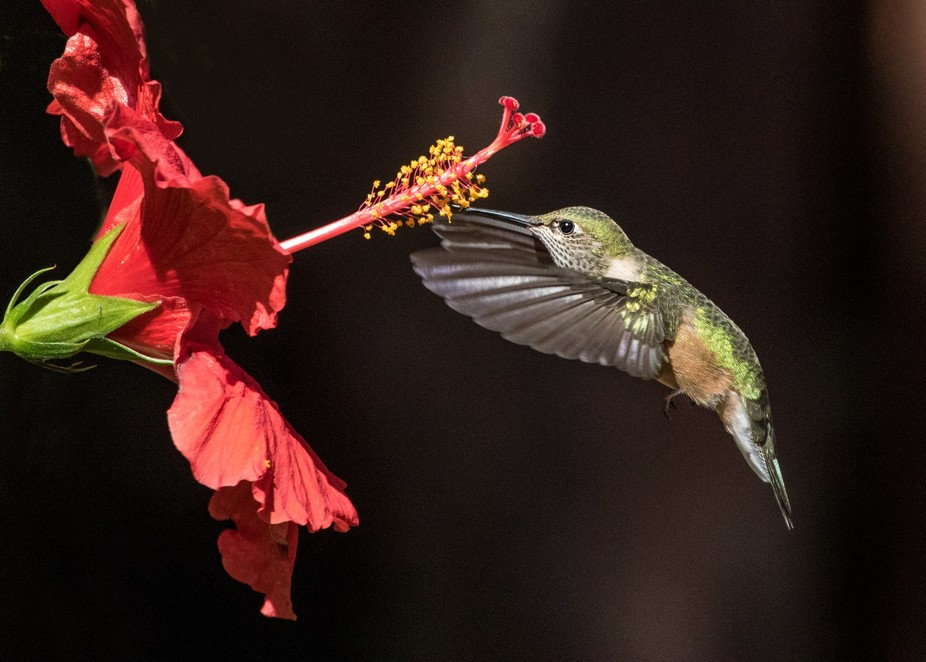 A female Broad-tailed Hummingbirds hovers to feed from a red hibiscus.  The dark background behin...