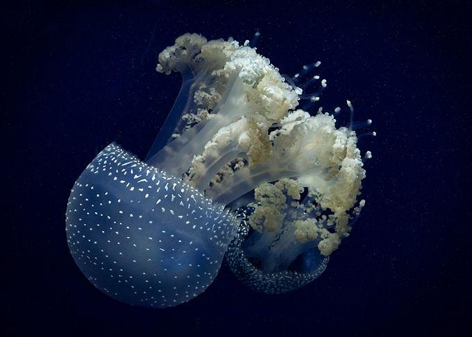 Jelly Blue by sallyhale
