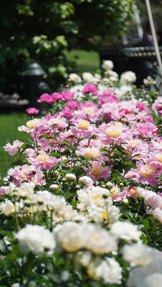 The stunning peonies at Bronx Botanical Garden