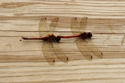 dragonflies red