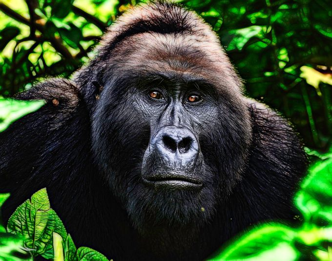 Mountain Gorilla, Uganda by agefoto - Monkeys And Apes Photo Contest