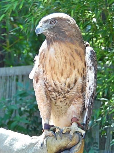 Zoo Hawk