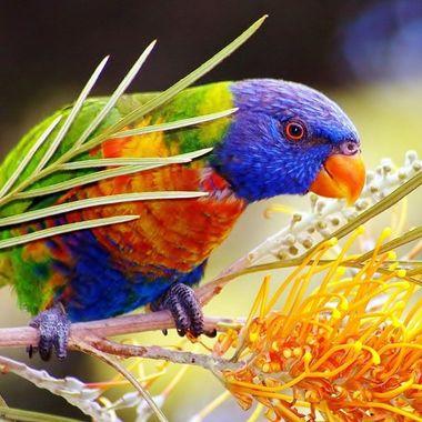 Rainbow Lorikeet & Gravillea flower