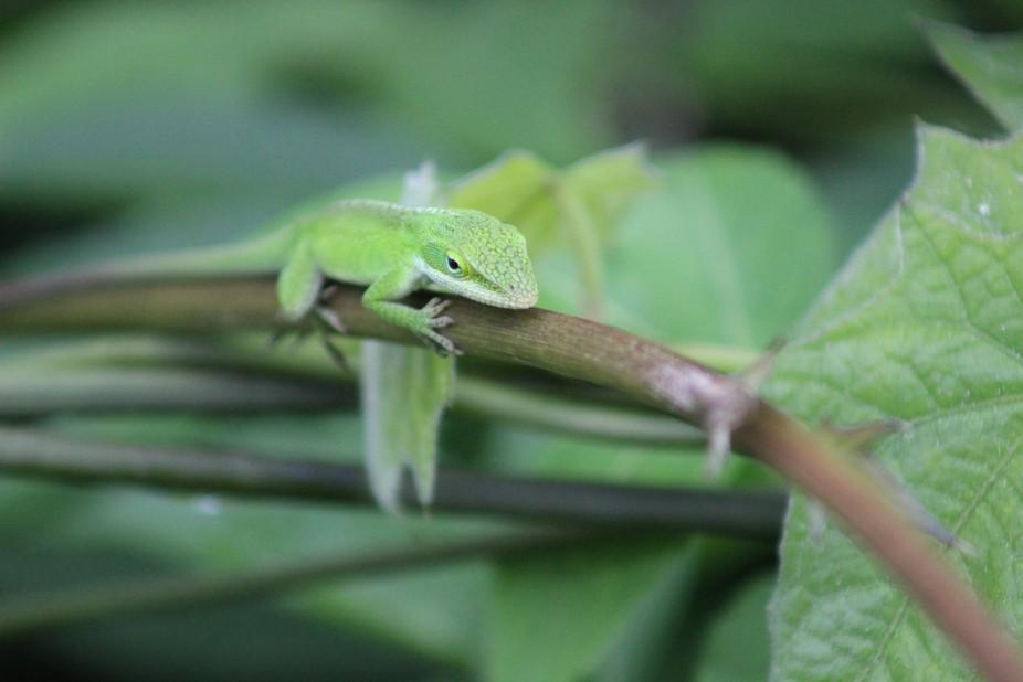 Little lizard in Hawaii
