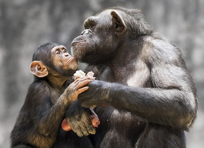 Mama and young Chimpanzee