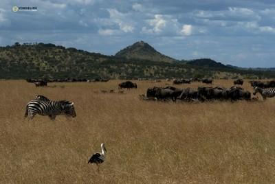 Serengeti scenery Stork Zebra and Wildebeest