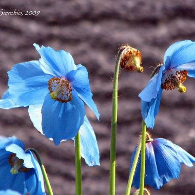 Himalayan Blue Poppies, one of the most beautiful flowers found in AK.