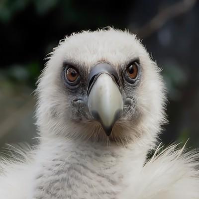 griffin vulture 1