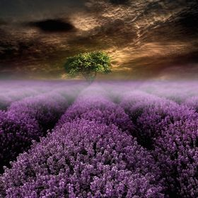 Rise of the Lavender