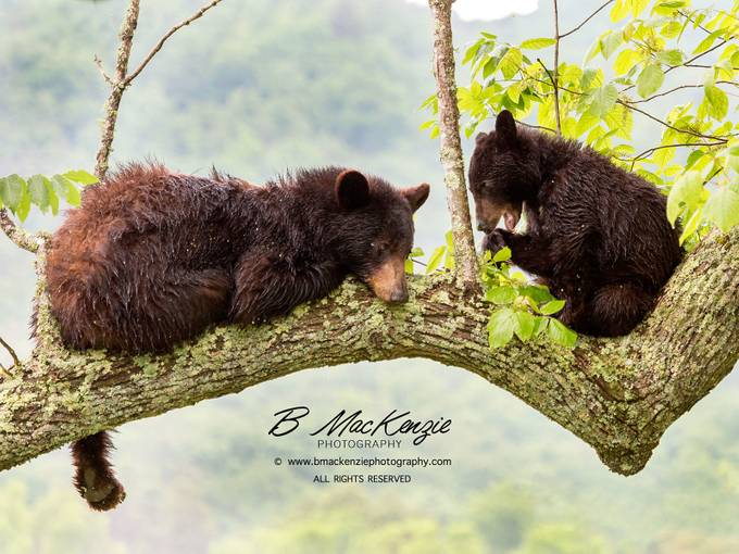 Lazy Day by bmackenziephotography - Bears Photo Contest