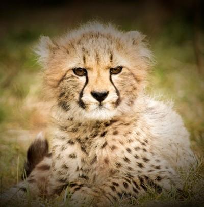 Grumpy little Cheetah !