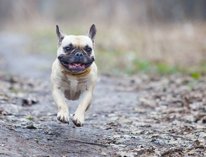 french bulldog by dmitrysamsonov - TiltShift Effect Photo Contest