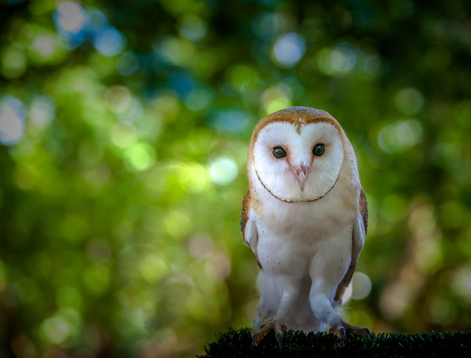 barn owl at Tapada de Mafra, National Game Reserve, Portugal