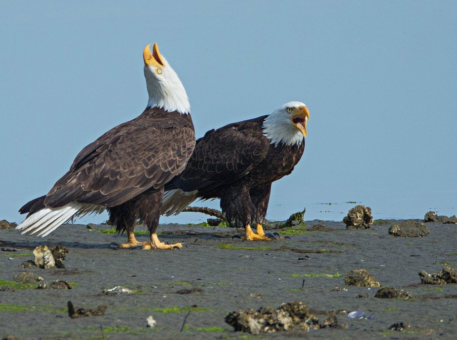 Eagles are very vocal