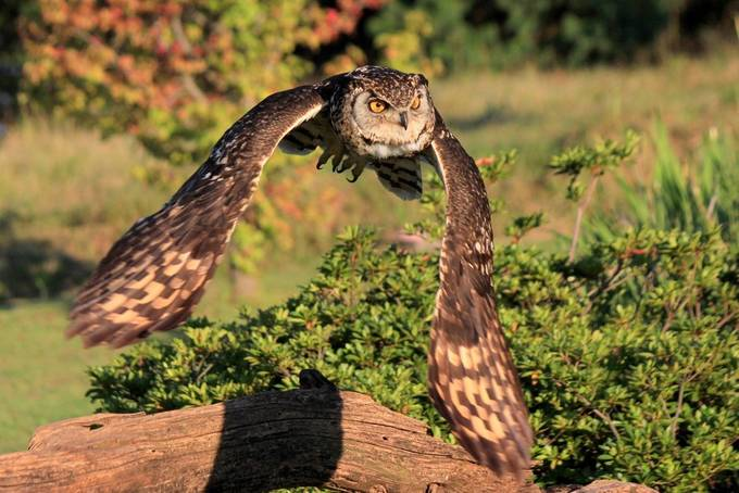 cape eagle owl.jpg41 by Peel - Life And Freedom Photo Contest