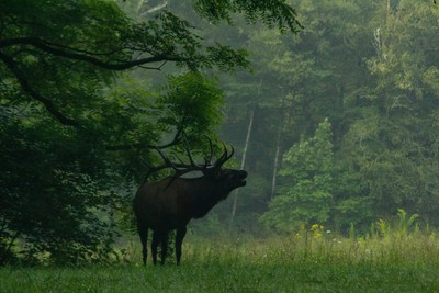 Elk in Fog (1 of 1)