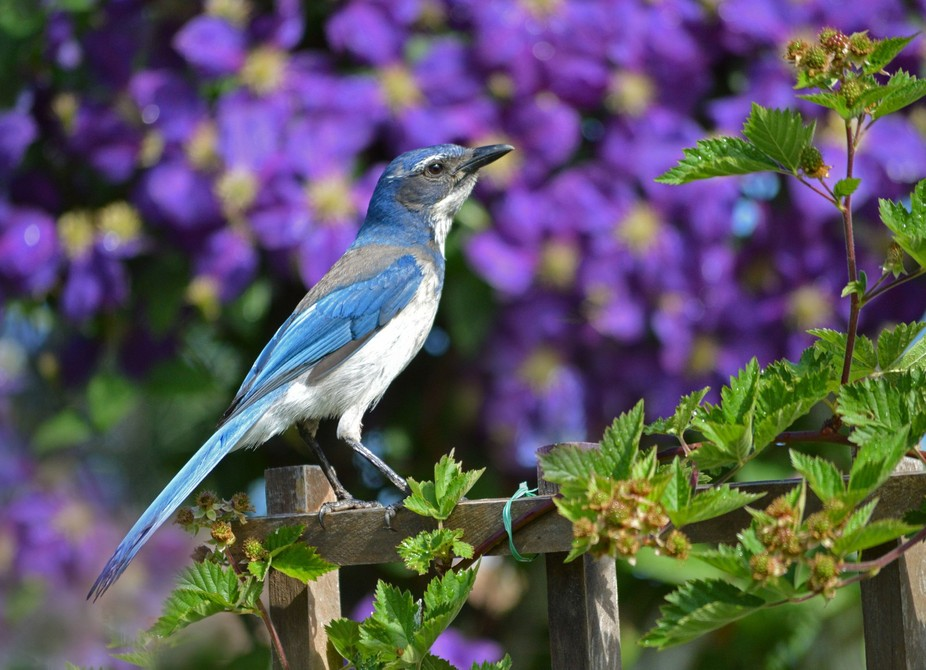 This jay came so close to me because it was buzzing the cat that was with me.  It has chicks in a...