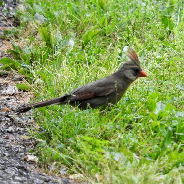 female cardinal @ nimisila