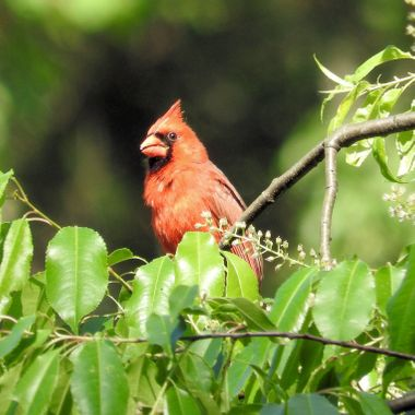 male cardinal @ nimisila