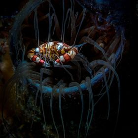 This beautiful Harlequin Crab was hiding within a Tube Anemone at Puerto Galera, Philippines.
