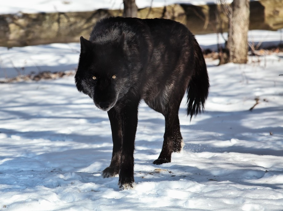 Shot this at a wolf preserve event for photographers.